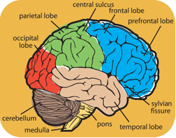 The Areas of Your Brain